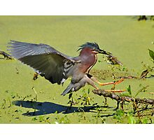 Green Backed Heron On The Hunt Photographic Print