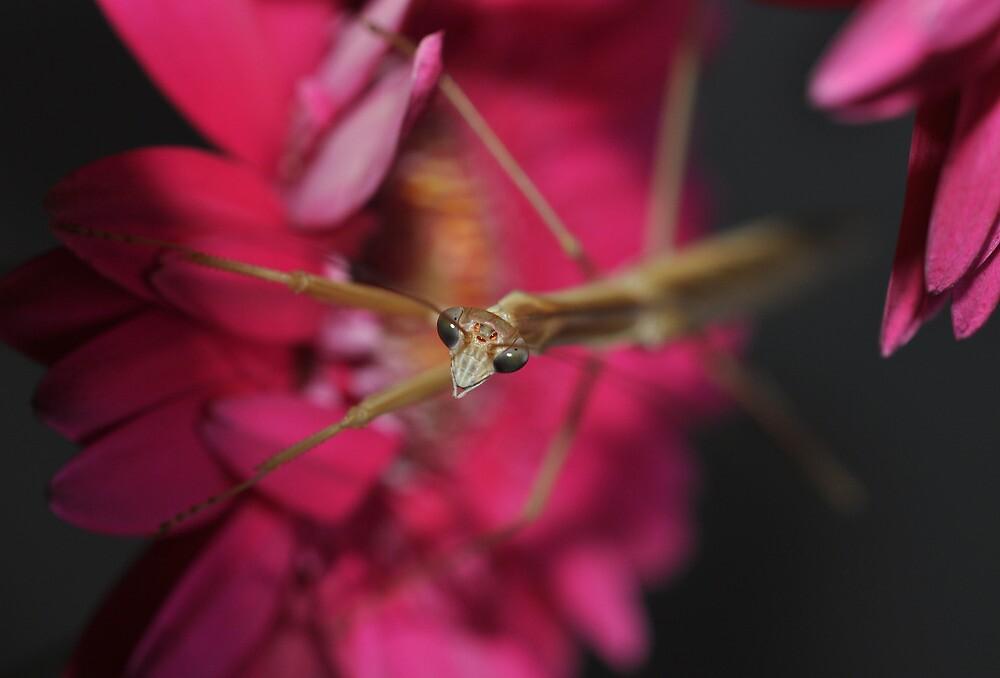 Praying mantis  by Trudi Hipworth