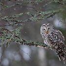 Ural Owl by Remo Savisaar