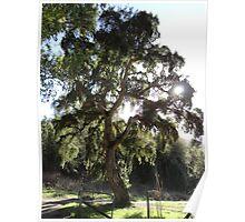 GRAND CORK TREE Poster