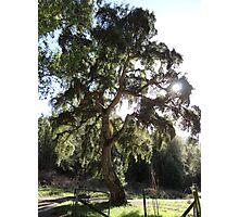 GRAND CORK TREE Photographic Print