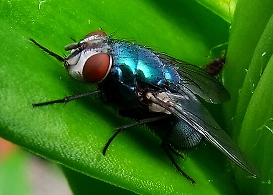 Fly : Blue Bottle by AnnDixon