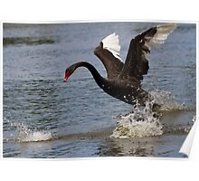black swan    -  ec Poster