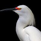 Snowy Egret  by Jim Cumming