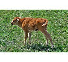 Buffalo calf  Photographic Print