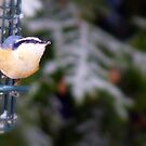Red Breasted Nuthatch... by LindaR