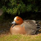 Wigeon by ajwimages