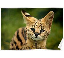Serval Kitten Poster