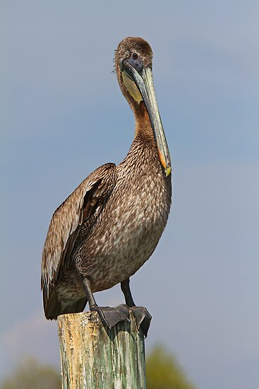 pelican     by Jim Cumming