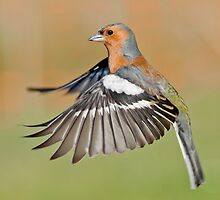 Chaffinch in flight by M.S. Photography & Art
