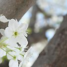 White Tree Flowers by lindsycarranza