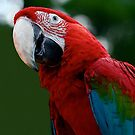Close-Up Of A Green-Winged Macaw by taiche