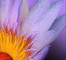 waterlilly 3 by carol brandt