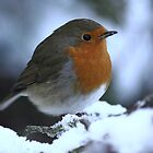 Robin Perched  by James  Landis