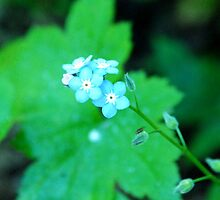 Small cool blue flowers by unstoppable