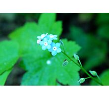 Small cool blue flowers Photographic Print