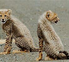 I DON'T LIKE THIS! CHEETAH CUBS - Acinonyx jabatus - Jagluiperd welpies by Magriet Meintjes