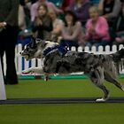 Riley at Flyball Demonstration. by Allan McKean