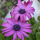 Pink African Daisies by taiche