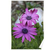 Purple and Pink African Daisy Flowers Poster
