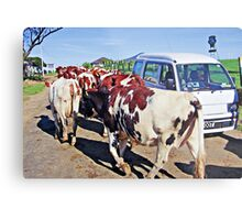 Vanity among cows? - please see description Metal Print