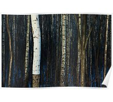 Springtime in the birch grove Poster