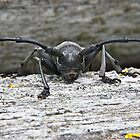 Longhorn Beetle by GrahamCSmith