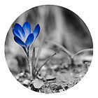 Crocus by Kanelov