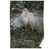 Mating Plumage Poster