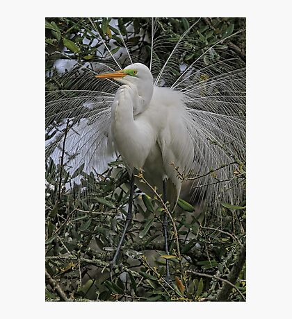 Mating Plumage Photographic Print