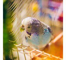 Parakeet Photographic Print