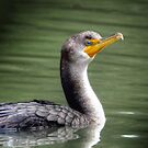 Double Crested Cormorant by Kathy Baccari