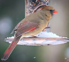 Female Cardinal at Feeder by Mikell Herrick