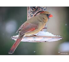 Female Cardinal at Feeder Photographic Print