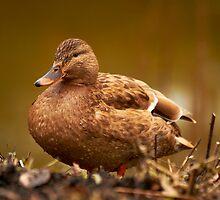 Female duck had a nice swim. by Birgit Van den Broeck