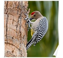 Gila Woodpecker Poster
