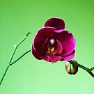 Orchid by Cathy Cale