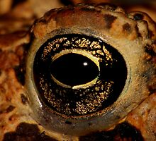 American Toad's eye by Kane Slater