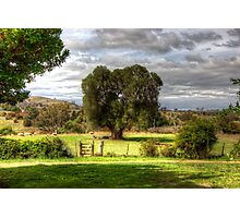 160 year old Olive Tree  Cooma Cottage Yass NSW  Australia  Photographic Print