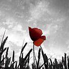 Poppy in a Wheat field by SteveHphotos