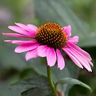 ECHINACEA by Bloom by Sam Wales