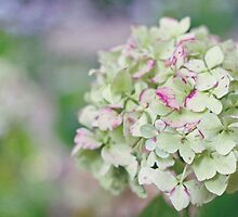 White Hydrangea by Bloom by Sam Wales