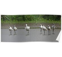 All Seven of us  Spoonbills  Poster