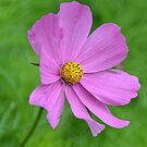 Single Pink Flower by Deborah Clearwater