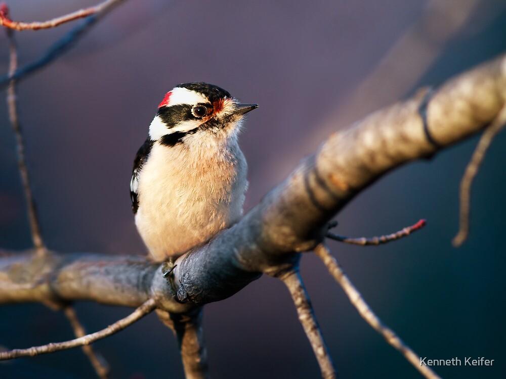 Downy Woodpecker Male by Kenneth Keifer
