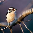 Downy Woodpecker Male by Kenneth Keifer