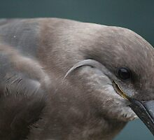 Inca Tern by Cliffyj