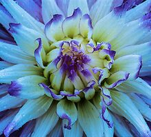 Dahlia Star by Gregory J Summers