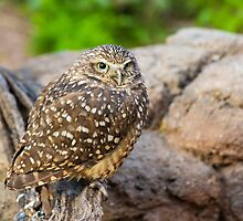 Burrowing Owl by BGSPhoto