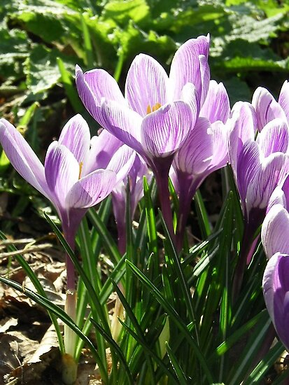 Crocus Flower - Its Spring! by ienemien